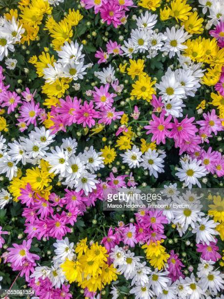 full frame shot of yellow flowering plants - oberstdorf stock pictures, royalty-free photos & images