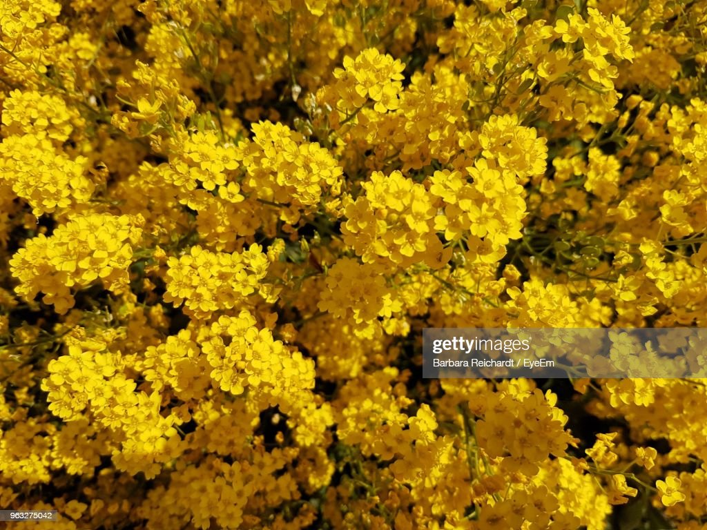 Full Frame Shot Of Yellow Flowering Plants Stock Photo Getty Images