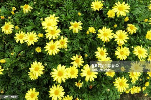 full frame shot of yellow flowers - trefferversuch stock-fotos und bilder