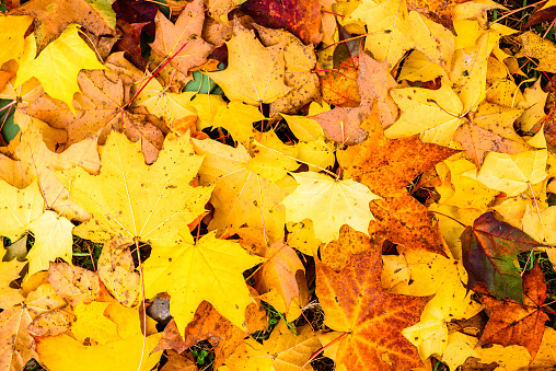 Full Frame Shot Of Yellow Maple Leaves During Autumn - gettyimageskorea