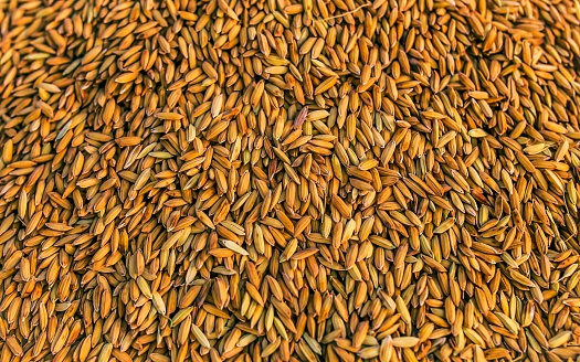 Full Frame Shot Of Yellow Rice Seeds - gettyimageskorea