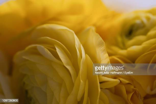 full frame shot of yellow rose - yellow roses stock photos and pictures