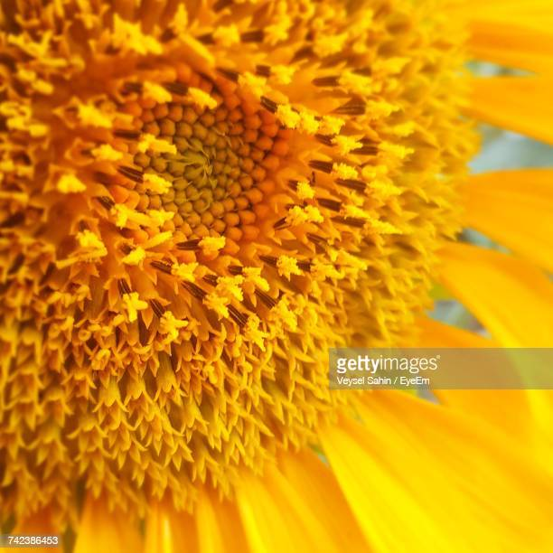 Full Frame Shot Of Yellow Sunflower Blooming Outdoors
