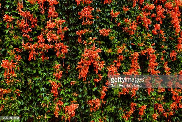 full frame shot orange honeysuckle flowers growing at park - honeysuckle stock pictures, royalty-free photos & images