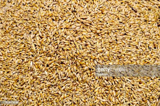 full frame show of golden wheat seeds - wheat stock pictures, royalty-free photos & images