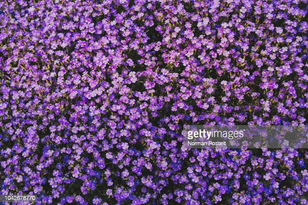 full frame vibrant purple violet flowers - blumen stock-fotos und bilder