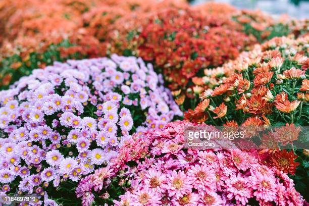 full frame view of assorted chrysanthemums - chrysanthemum stock pictures, royalty-free photos & images
