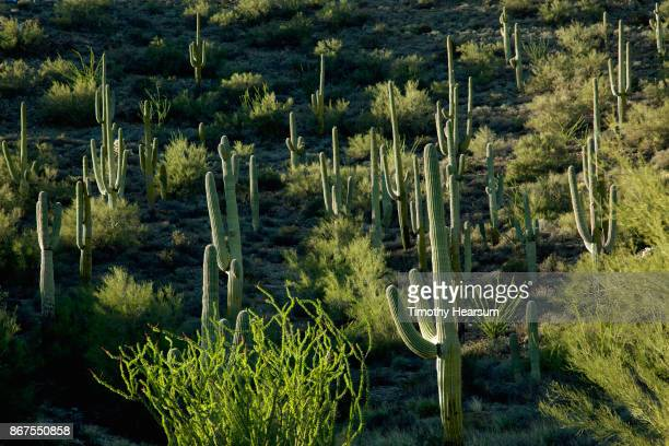 full frame view of hillside covered with saguaro cacti, ocotillo and other desert plants - timothy hearsum stock pictures, royalty-free photos & images