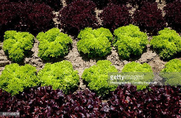 full frame view of horizontal rows of red and green curly lettuce heads - timothy hearsum stock pictures, royalty-free photos & images