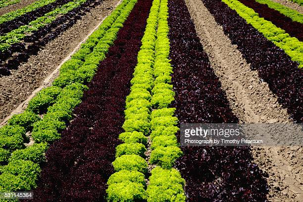 full frame view of oblique rows of red and green curly lettuce heads - timothy hearsum stock pictures, royalty-free photos & images
