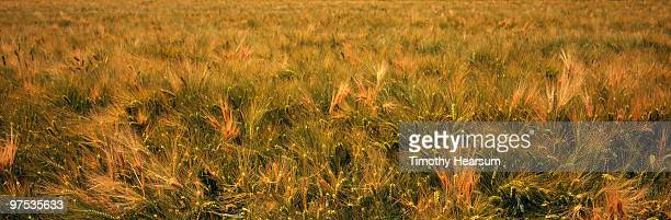 full frame view of ripening barley - timothy hearsum stock photos and pictures