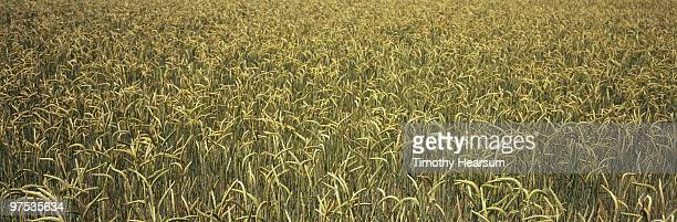 full frame view of ripening wheat - timothy hearsum stockfoto's en -beelden