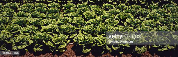 full frame view of rows of mature head lettuce - timothy hearsum stock photos and pictures