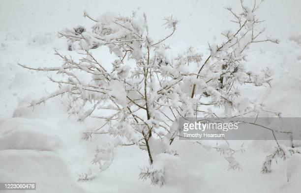 full frame view of snow-laden palo verde tree (parkinsonia aculeata) near joshua tree national park - timothy hearsum stock-fotos und bilder