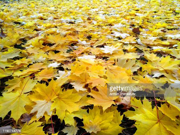 full frame view of the maple leaves falling in autumn - arman zhenikeyev stock pictures, royalty-free photos & images