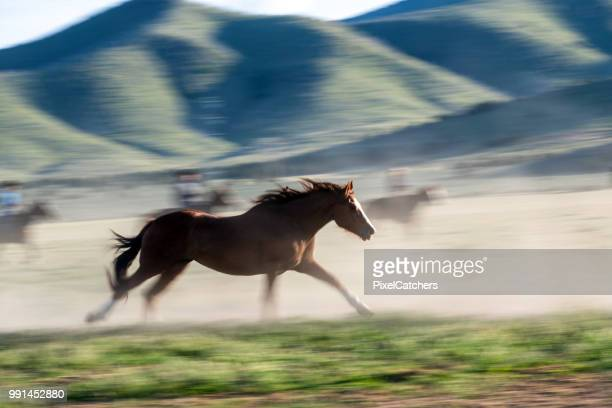 full frame wild horse leading the herd running into the evening sunlight cowboys blurred behind - stallion stock pictures, royalty-free photos & images
