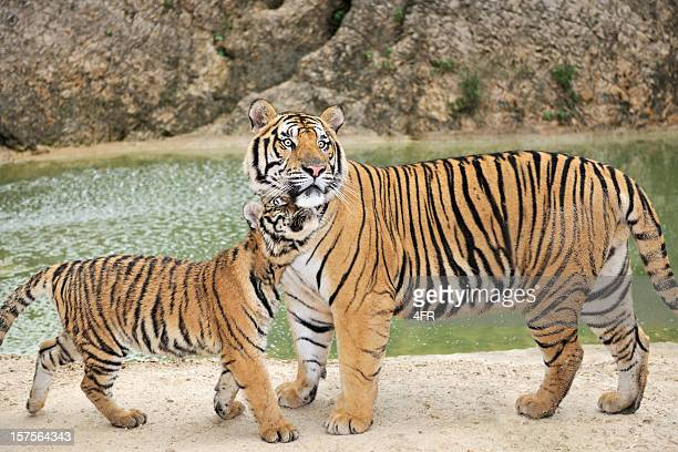 full grown bengal tiger watching over his cub - tiger cub stock photos and pictures