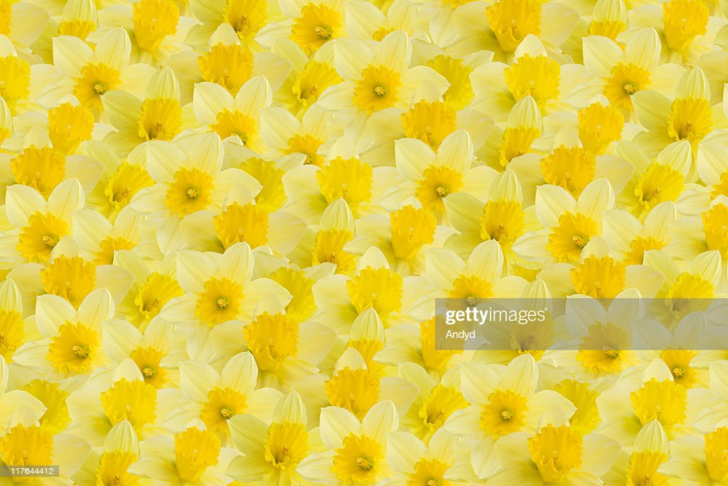 A full image of a daffodil background : Stock Photo
