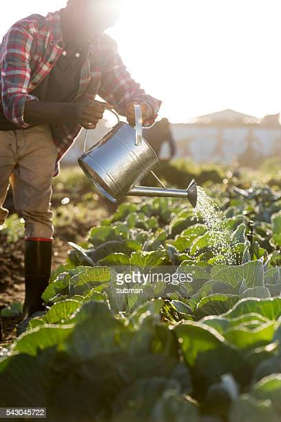Full Length African Man watering Vegetables watering can