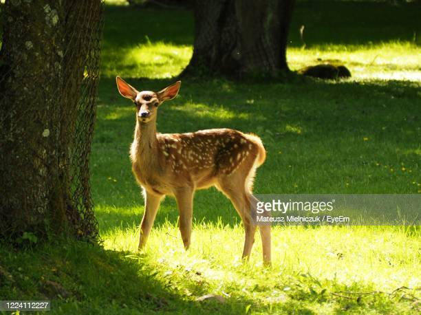 full length of a deer on field - bialowieza forest stock pictures, royalty-free photos & images