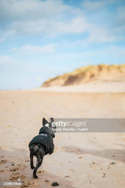 full length of a dog on beach - beach stock pictures, royalty-free photos & images