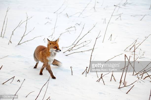 full length of a red fox on snow - andrea rizzi stockfoto's en -beelden