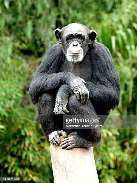 Full length of chimpanzee sitting on tree stump