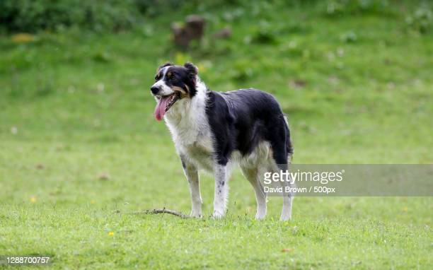 full length of collie standing on field,bishop auckland dl,united kingdom,uk - fulham stock pictures, royalty-free photos & images