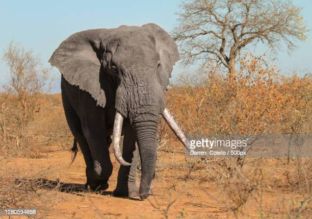 full length of elephant standing on field - tusk stock pictures, royalty-free photos & images