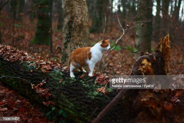 full length of ginger cat on tree trunk in forest - animales cazando fotografías e imágenes de stock