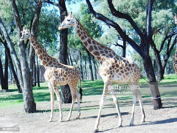 full length of giraffes walking in forest - dubbo australia stock pictures, royalty-free photos & images