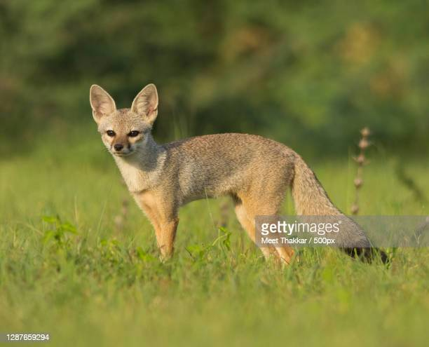 full length of jackal standing on land,ahmedabad,gujarat,india - ahmedabad stock pictures, royalty-free photos & images