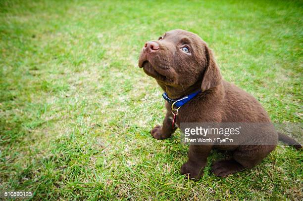 full length of labrador retriever puppy sitting on grass in park - chocolate labrador stock pictures, royalty-free photos & images