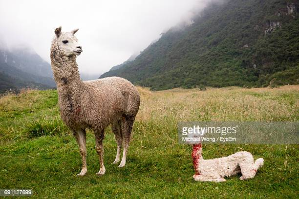 Full Length Of Llamas On Field Against Mountain