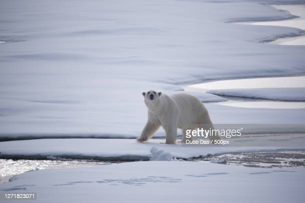 full length of polar bear walking on snow covered land, longyearbyen, svalbard and jan mayen islands - pack ice stock pictures, royalty-free photos & images