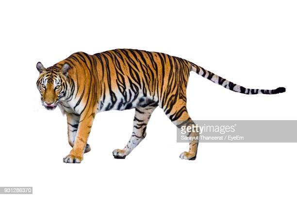 Full Length Of Tiger Against White Background