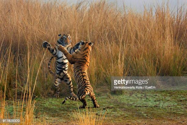 Full Length Of Tigers Fighting On Field