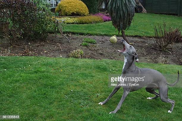 Full Length Of Whippet Catching Ball In Lawn