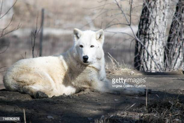 Full Length Of Wolf Sitting On Field During Sunny Day