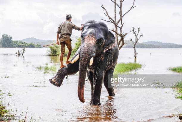 full length of zoo keeper climbing on elephant in lake at forest - zoo keeper stock pictures, royalty-free photos & images