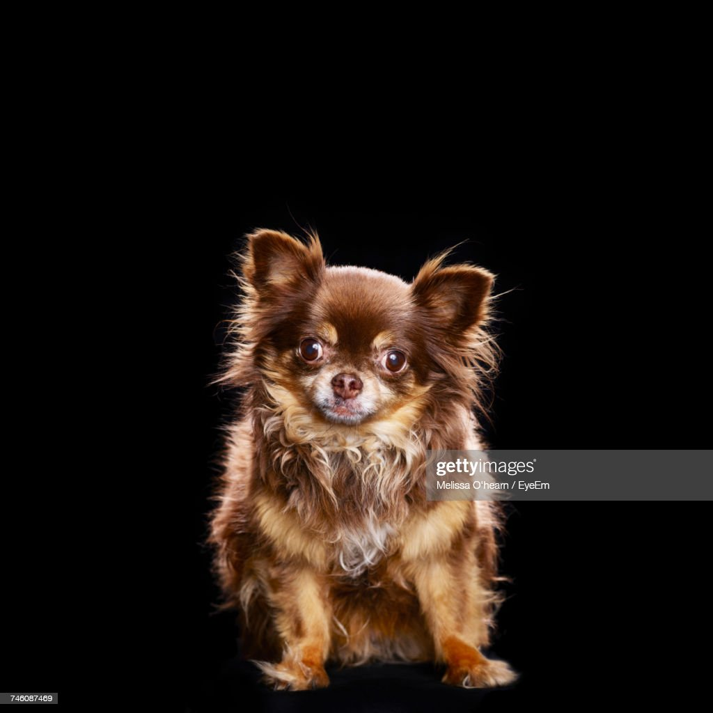 Full Length Portrait Of Cute Chihuahua Against Black Background : Stock Photo