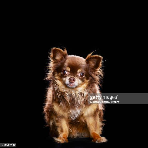 full length portrait of cute chihuahua against black background - carnivora stock pictures, royalty-free photos & images