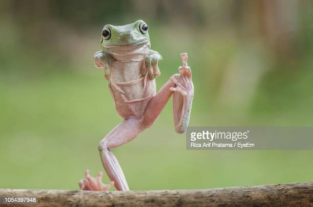 full length portrait of frog standing on stick - grenouille photos et images de collection