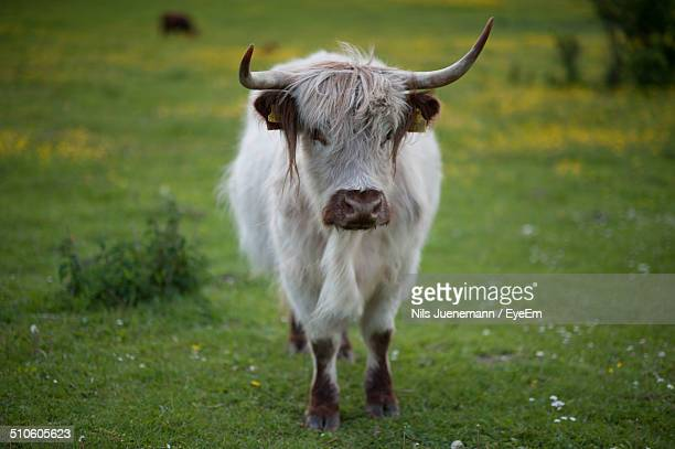 Full length portrait of young yak standing on field