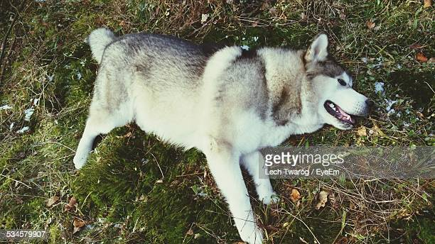 full length side view of alaskan malamute in park - malamute stock pictures, royalty-free photos & images