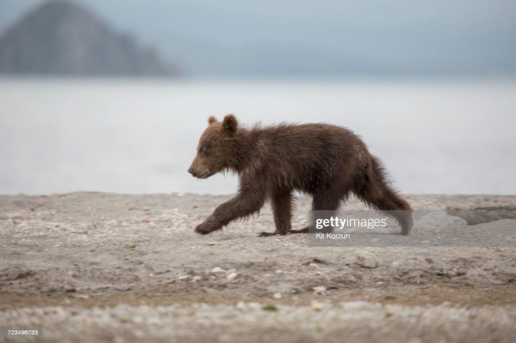 Full length side view of bear cub walking on lakeshore, Kurile Lake, Kamchatka Peninsula, Russia : Stock Photo