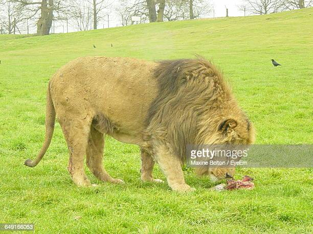 Full Length Side View Of Lion Eating Meat On Grassy Field