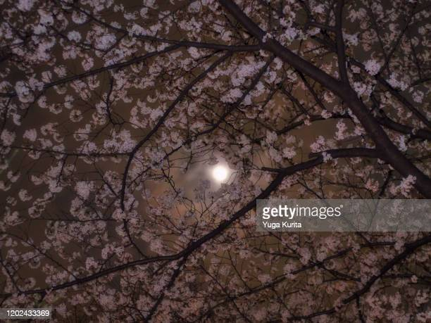 full moon and cherry blossoms - pink moon stock pictures, royalty-free photos & images
