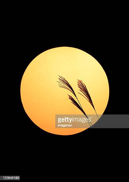 Full Moon and Japanese Pampas Grass