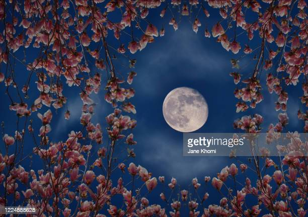 full moon and magnolia blossom - flower moon stock pictures, royalty-free photos & images